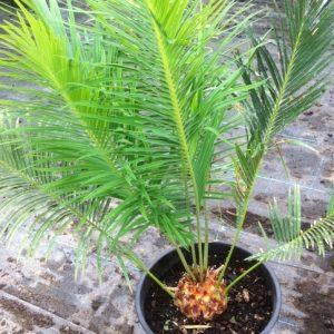 Autres plantes exotiques
