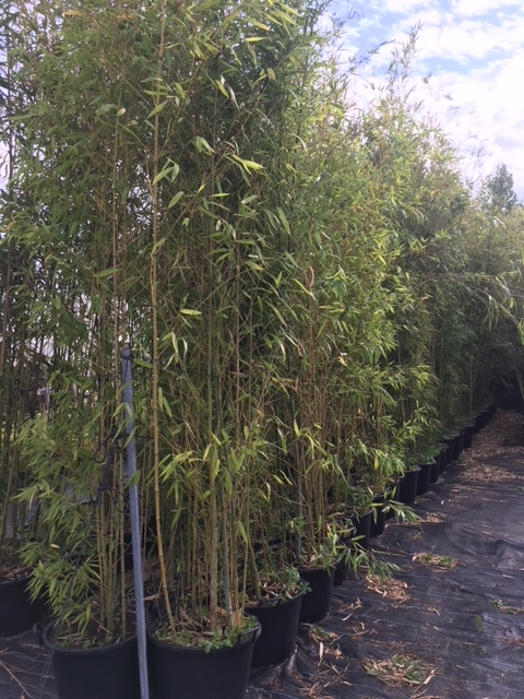 Phyllostachys aurea (Pot de 60L-Hauteur livrée 6 m) – Palmeraie Zen