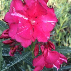 Rose double Commandant Barthelemy