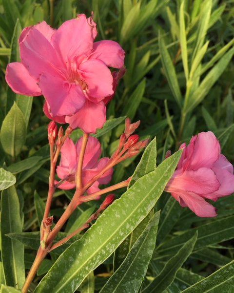 Rose triple Rose des Borels