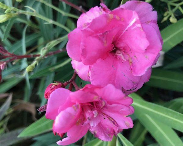 Rose triple Splendens Giganteum